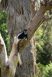 Capuchin Monkey in Tree Royalty Free Stock Images