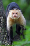 Capuchin monkey walking on a branch in Costa Rica Royalty Free Stock Photography