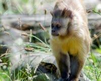 Capuchin Monkey. A capuchin monkey walks its territory Stock Images
