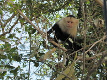 Capuchin monkey. White face monkey in Costa Rica forest Stock Image