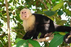 Capuchin monkey in tree. White-faced Capuchin monkey in the trees, forest of Costa Rica, Central America Royalty Free Stock Photos