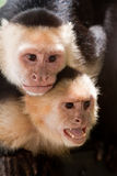 Capuchin monkey with youngster on her back Stock Image