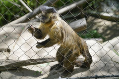 Capuchin Monkey, Zoo Series, behind fence. Capuchin Monkey held captive in a cage Stock Image