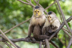Capuchin monkeys. Couple resting in the shade stock photography