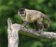 Capuchin. Monkeys in their natural habitat and the African Savannah royalty free stock photos