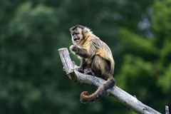 Capuchin. Monkeys in their natural habitat and the African Savannah Royalty Free Stock Image