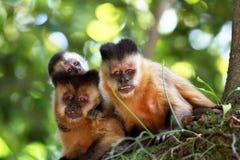 Capuchin monkeys in the tree Stock Photo