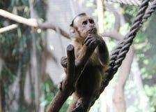 Capuchin Preto-tampado contemplativo Imagens de Stock Royalty Free