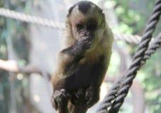Capuchin Preto-tampado que come o fruto II foto de stock royalty free