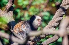 Capuchin sitting on a rope, tied on trees, and relaxing at the zoological park stock photography