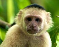 capuchin vänd mot apawhite Fotografering för Bildbyråer