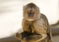 Capuchin Weeper Monkey Royalty Free Stock Photography