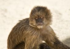 Capuchin Weeper Monkey Stock Images