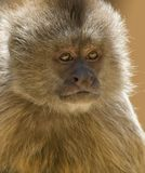 Capuchin Weeper Monkey Stock Photo