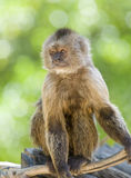 Capuchin Weeper Monkey sitting royalty free stock photography