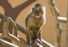 Capuchin Weeper Monkey sitting Stock Image