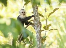 Capuchin-weißer gegenübergestellter Affe Stockfotos