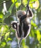 Capuchin-weißer gegenübergestellter Affe Lizenzfreies Stockbild