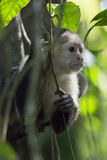 Capuchin-weißer gegenübergestellter Affe Stockbilder