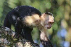 Capuchin-weißer gegenübergestellter Affe Lizenzfreie Stockbilder