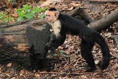 Capuchin White-faced Foto de Stock