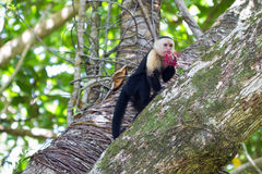 Capuchin White-faced Foto de Stock Royalty Free