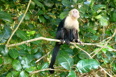 Capuchin. White faced Capuchin monkey on a tree branch. Costa Rica, Central America Stock Photo