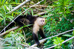 Capuchin White-headed Fotografie Stock