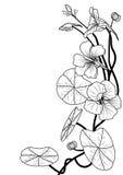 Capuchina stock de ilustración
