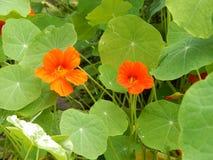 capuchina de la flor de la planta con las flores anaranjadas Fotos de archivo