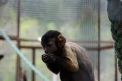 Capuchinapa Arkivfoto
