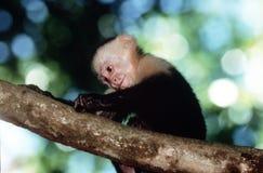 capuchinapa Royaltyfri Fotografi