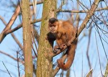capuchinapa Royaltyfria Bilder