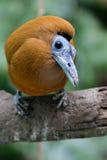 Capuchinbird 免版税图库摄影