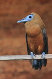Capuchinbird. Sitting on the branch Stock Images