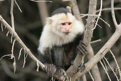 capuchincostaen vände ricawhite mot Royaltyfria Foton