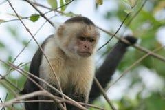 capuchincostaen vände ricawhite mot Fotografering för Bildbyråer