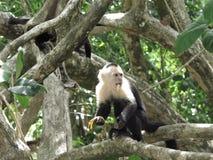 Capuchinfallhammer, der eine Banane isst Stockbilder