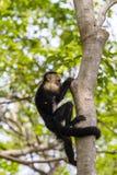 Capucin à tête blanche - capucinus de Cebus Photo libre de droits