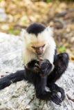 Capucin à tête blanche regardant la nourriture - capucinus de Cebus Photographie stock