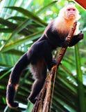 Capucin blanc menant la chasse pour la nourriture en Costa Rica Photos stock