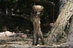 Capucin de Brown ou capucin de capucin ou barbu noir-rayé, libidinosus de Cebus photo stock