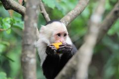 Capucin Monkey (cebus capucinus) eating a fruit. A Capuchin Monkey (cebus capucinus) eating a fruit in the trees somewhere in Costa-Rica Royalty Free Stock Photography