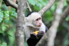 Capucin Monkey (cebus capucinus) eating a fruit. A Capucin Monkey (cebus capucinus) eating a fruit in Costa-Rica Stock Photo