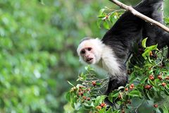 Capucin Monkey (cebus capucinus) eating fruits  Royalty Free Stock Photography