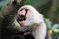 Capucin Monkey (cebus capucinus) hanging on a tree. A Capuchin Monkey (cebus capucinus) hanging in the trees in Costa-Rica Royalty Free Stock Image