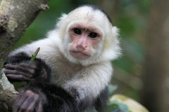 Capucin Monkey (cebus capucinus) in the trees. A Capucin Monkey (cebus capucinus) hanging in the trees somewhere in Costa-Rica Royalty Free Stock Photo