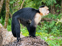 Capucin monkey in Costa Rica Royalty Free Stock Images