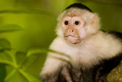 Capucin monkey in the wild. Capucin monkey in Costa Rica, Osa peninsula Stock Photos
