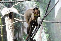 Capucin Noir-couvert mangeant du fruit Photos libres de droits
